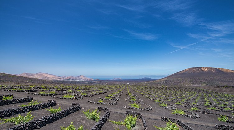 Grapes growing through a layer of volcanic ash of Lanzarote