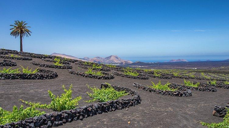Las uvas crecen a través de una capa de ceniza volcánica de Lanzarote